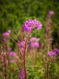 Angustifolium Chamerion γνωστό συνήθως όπως λουλούδια Στοκ εικόνα με δικαίωμα ελεύθερης χρήσης