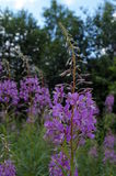 Angustifolium Chamerion με τα πορφυρά λουλούδια Στοκ Φωτογραφίες