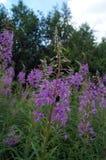 Angustifolium Chamerion με τα πορφυρά λουλούδια Στοκ Φωτογραφία