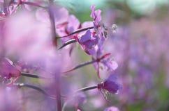 Angustifolium de Chamerion Foto de archivo libre de regalías
