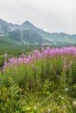Angustifolium de Chamerion (laurel de San Antonio, gran sauce-hierba, willowherb de adelfa) del canto de la montaña en el fondo Fotos de archivo libres de regalías