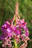 Angustifolium di Chamerion Fotografie Stock