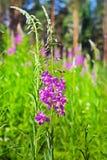Angustifolium do Epilobium da planta medicinal Fotografia de Stock