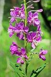 Angustifolium do Epilobium da planta medicinal Imagem de Stock Royalty Free