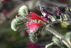 Angustifolium Echium Στοκ φωτογραφία με δικαίωμα ελεύθερης χρήσης