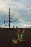 Angustifolium en madera muerta - consecuencia de Chamerion de un lanzamiento catastrófico de la ceniza durante la erupción del vo foto de archivo libre de regalías