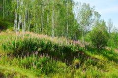 Angustifolium Epilobium στη βουνοπλαγιά Στοκ Εικόνα