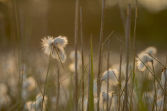 Angustifolium Eriophorum Cottongrass Στοκ εικόνες με δικαίωμα ελεύθερης χρήσης