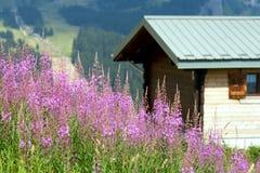 Angustifolium floreciente del epilobium en montañas Imagen de archivo