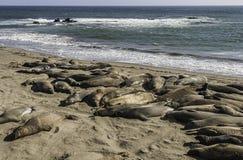 Angustinostris för mirounga för elefantskyddsremsor som sover i en sandbeac Royaltyfria Bilder