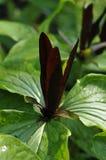 Angustipetalum de Trillium Photo stock