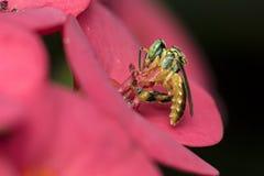 Angustula Tetragonisca μελισσών στη μακρο φωτογραφία λουλουδιών - μέλισσα Jatai/angustula Tetragonisca Στοκ Εικόνες