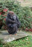 Angy-Gorilla am apenheul lizenzfreie stockbilder