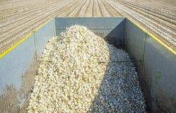 Anhänger mit weißen Zwiebeln zur Erntezeit Lizenzfreie Stockbilder