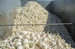 Anhänger mit weißen Zwiebeln zur Erntezeit Lizenzfreie Stockfotografie