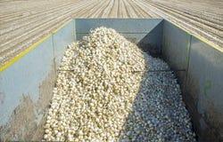 Anhänger mit weißen Zwiebeln zur Erntezeit Stockfotos