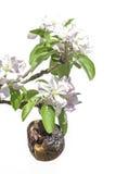 Anhaften dem lebens- alten Apfel umgeben durch neue Blüte Lizenzfreie Stockfotografie