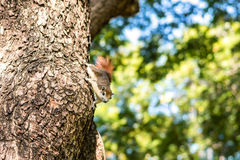 Anhaftendes Eichhörnchen Stockbild