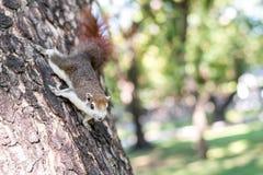 Anhaftendes Eichhörnchen Lizenzfreies Stockfoto