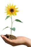 Anhalten der Sonnenblume Stockfotografie