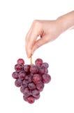 Anhalten eines Bündels der roten Trauben Lizenzfreies Stockbild