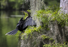 Anhinga Perched in Cypress Tree Royalty Free Stock Images