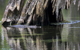 Alligator Under A Cypress Tree Stock Photo