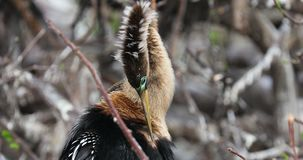 Anhinga - πουλί φιδιών Φλώριδα ΗΠΑ φιλμ μικρού μήκους