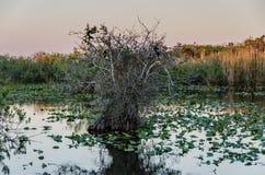 Anhinga ślad - błota park narodowy Zdjęcie Stock