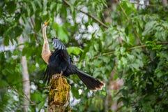 Anhinga ή snakebird πέρα από έναν κλάδο, μέσα του τροπικού δάσους της Αμαζώνας στο εθνικό πάρκο Cuyabeno στον Ισημερινό Στοκ φωτογραφίες με δικαίωμα ελεύθερης χρήσης