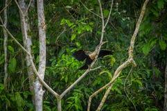 Anhinga ή snakebird πέρα από έναν κλάδο, μέσα του τροπικού δάσους της Αμαζώνας στο εθνικό πάρκο Cuyabeno στον Ισημερινό Στοκ φωτογραφία με δικαίωμα ελεύθερης χρήσης