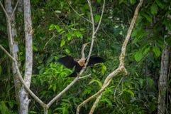 Anhinga ή snakebird πέρα από έναν κλάδο, μέσα του τροπικού δάσους της Αμαζώνας στο εθνικό πάρκο Cuyabeno στον Ισημερινό Στοκ Φωτογραφίες
