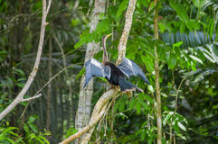 Anhinga ή snakebird πέρα από έναν κλάδο, μέσα του τροπικού δάσους της Αμαζώνας στο εθνικό πάρκο Cuyabeno στον Ισημερινό Στοκ Εικόνα
