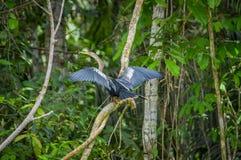 Anhinga ή snakebird πέρα από έναν κλάδο, μέσα του τροπικού δάσους της Αμαζώνας στο εθνικό πάρκο Cuyabeno στον Ισημερινό Στοκ Εικόνες