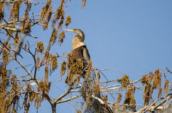 Anhinga, εθνικό καταφύγιο άγριας πανίδας ελών Okefenokee Στοκ φωτογραφία με δικαίωμα ελεύθερης χρήσης