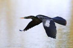 Anhinga κατά την πτήση - Φλώριδα Στοκ φωτογραφία με δικαίωμα ελεύθερης χρήσης