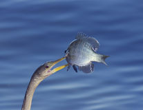 Anhinga με ένα ψάρι Στοκ Φωτογραφίες