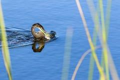 Anhinga με τα ψάρια Στοκ Εικόνα