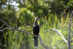 Anhinga (πουλί φιδιών, νερό Τουρκία, darter) που λιάζει για να ξεράνει μακριά μετά από να βουτήξει στο νερό Στοκ Εικόνες