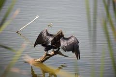 Anhinga (πουλί φιδιών, νερό Τουρκία, darter) που ξεραίνει τα φτερά του Στοκ φωτογραφία με δικαίωμα ελεύθερης χρήσης