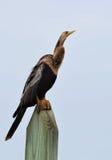 Anhinga, που είναι γνωστό επίσης ως snakebird ή darter, σκαρφαλωμένος σε μια θέση Στοκ φωτογραφία με δικαίωμα ελεύθερης χρήσης
