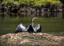 Anhinga που λιάζει τα φτερά - ποταμός ανοίξεων Wakulla Στοκ φωτογραφία με δικαίωμα ελεύθερης χρήσης