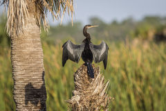 Anhinga που διαδίδει τα φτερά του που ξεραίνουν - Φλώριδα Στοκ εικόνες με δικαίωμα ελεύθερης χρήσης