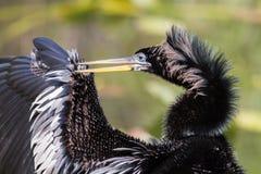 Anhinga που καθαρίζει το φτερό του, εθνικό πάρκο Everglades Στοκ Εικόνα