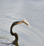 Anhinga που κατεβάζει ένα ψάρι Στοκ Εικόνα