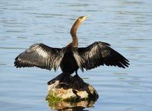 Anhinga που λιάζεται σε έναν βράχο προκειμένου να το ξεράνει φτερά ` s Στοκ Εικόνα