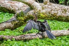Anhinga που ξεραίνει τα διευρυμένα φτερά του σε έναν κλάδο δέντρων σε Tortuguer Στοκ εικόνα με δικαίωμα ελεύθερης χρήσης