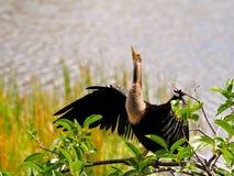 Anhinga που ξεραίνει τα φτερά της στους υγρότοπους Στοκ Εικόνες