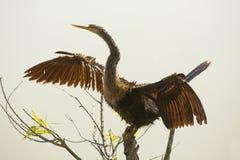 Anhinga που ξεραίνει τα φτερά του στο πάρκο Magnolia σε Apopka, Φλώριδα Στοκ εικόνες με δικαίωμα ελεύθερης χρήσης
