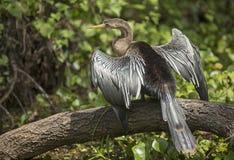 anhinga που ξεραίνει τα φτερά του Στοκ εικόνα με δικαίωμα ελεύθερης χρήσης